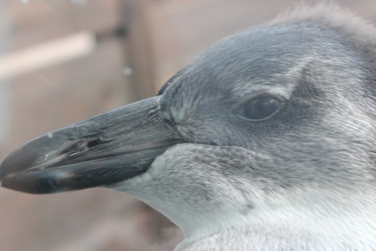 ペンギンの顔