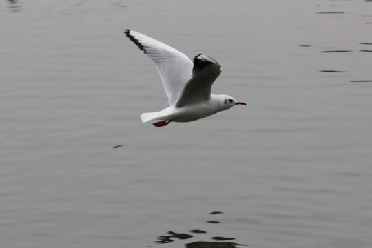 飛ぶ水鳥1