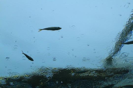 雨粒の波紋と魚