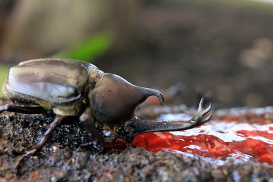 食事中のカブトムシ