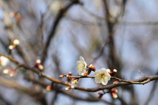 白いウメの花