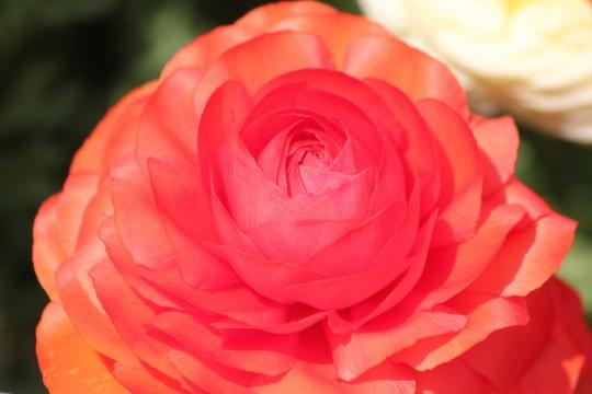 赤い花びら1