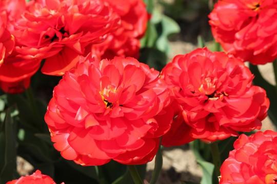 赤い花びら2
