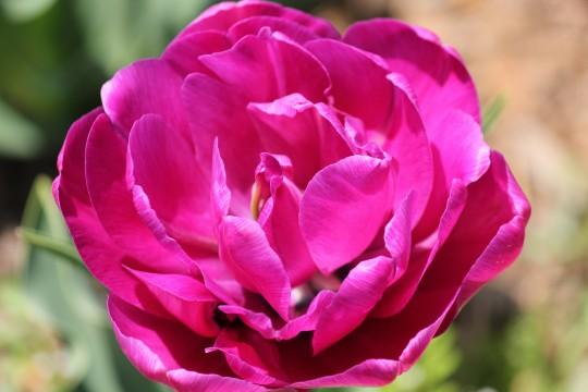 ピンクの花びら1