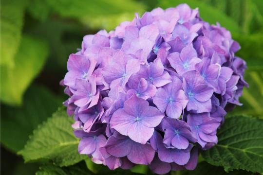 薄紫の紫陽花3