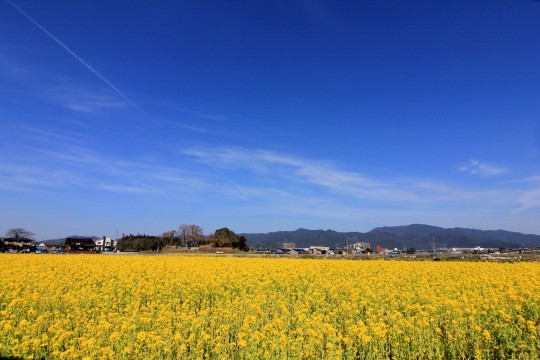 青空と菜の花畑