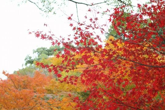 色づきかけの紅葉と真っ赤な紅葉2