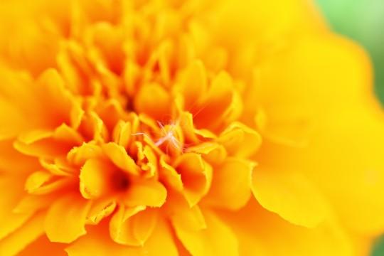 黄色い花と綿毛
