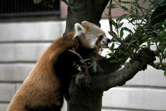 木に登るレッサーパンダ2