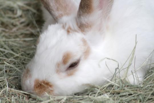 寝てるウサギ