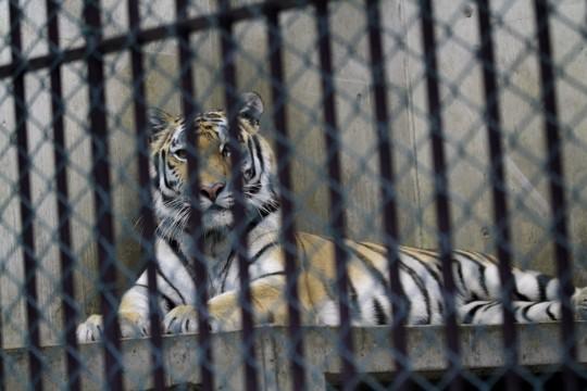 檻の中の虎