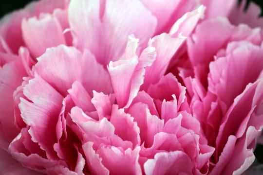 牡丹の花びら2