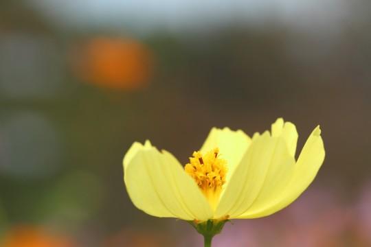 淡い黄色のコスモス