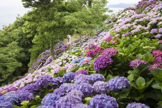色とりどりの紫陽花