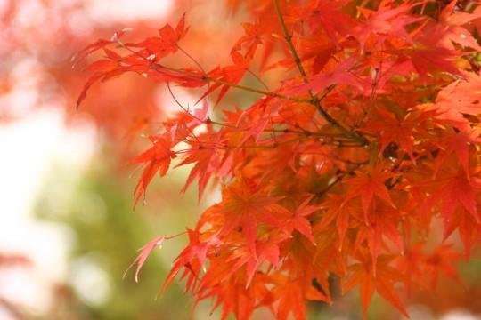 竈門神社の紅葉の枝3