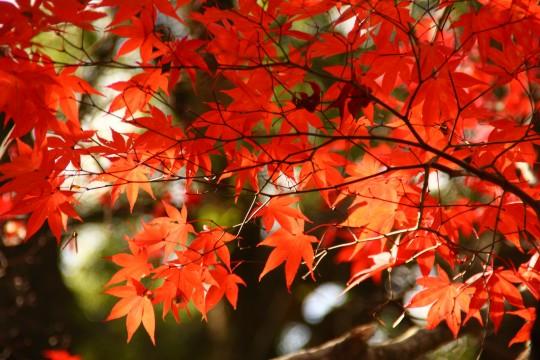 竈門神社の紅葉の枝