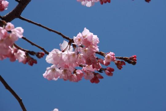 桜の枝002