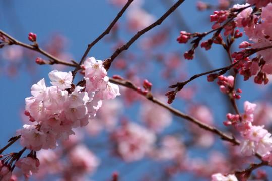 桜の枝003