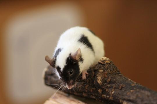 小屋の上のパンダマウス