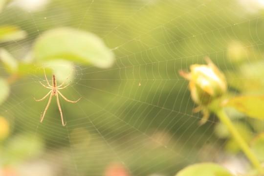 バラ園の蜘蛛の巣