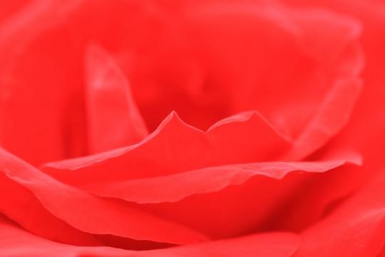 赤い薔薇の花びら