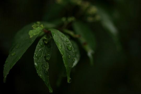 雨に打たれる葉3