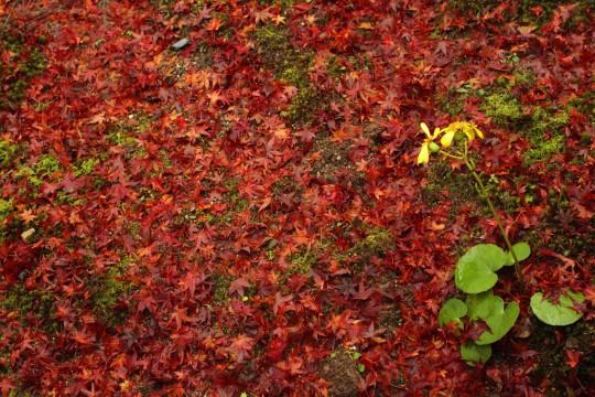 紅葉のカーペット