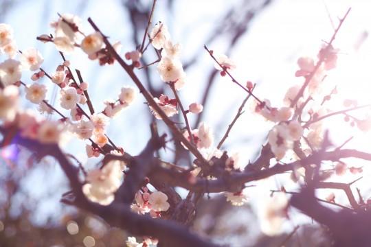 やわらかな陽の光に包まれた梅の花