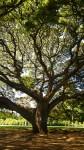 大木の木漏れ日