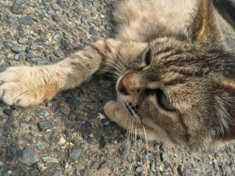 道路に寝転ぶ猫