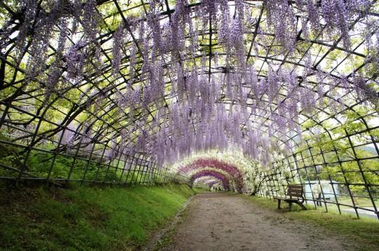 藤のトンネル5