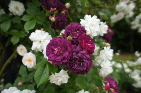 濃い紫色のバラ