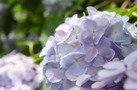 淡い紫色のあじさい