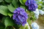 濃い紫色のあじさい