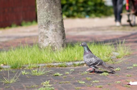 首を伸ばして歩く鳩