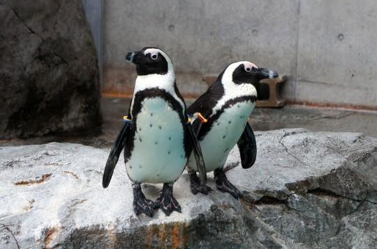 ケープペンギンのペア