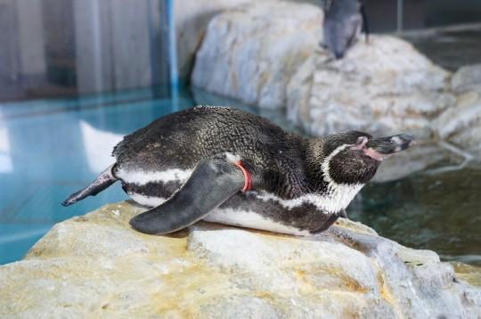 ひなたぼっこしているペンギン