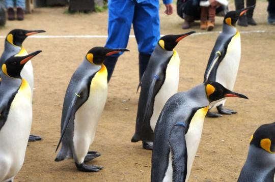 行進するキングペンギン