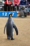 キングペンギンの後ろ姿