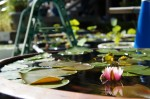 睡蓮鉢と小さな睡蓮