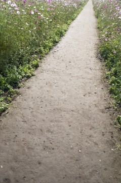 コスモス畑の小径