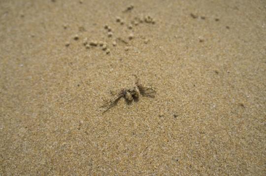 浜辺の小さなカニ2