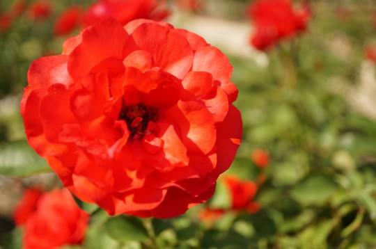 朱色のバラ