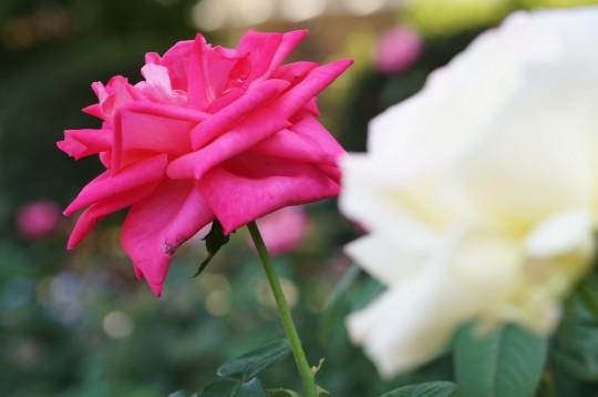 ピンクのバラ4
