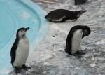 フンボルトペンギン7