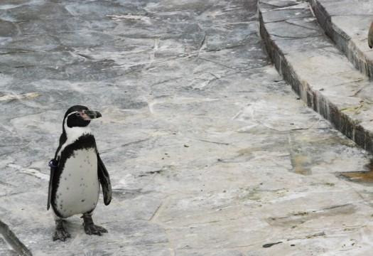 寂しそうなフンボルトペンギン1