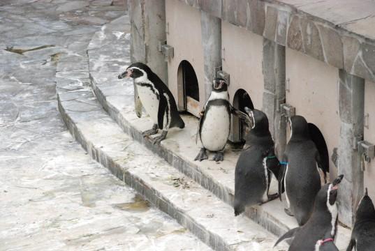 フンボルトペンギン5