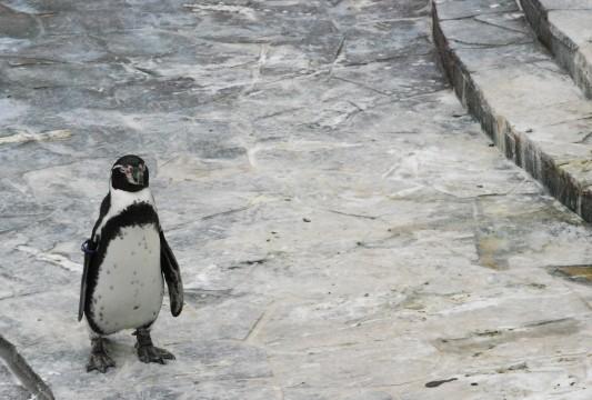 寂しそうなフンボルトペンギン2