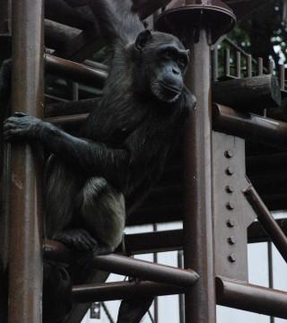 チンパンジー2