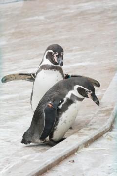 何かを狙っているフンボルトペンギン